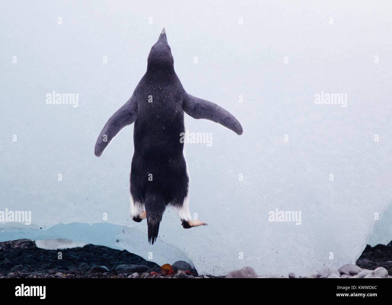 Penguins photographed during a 2 month tour of the various islands of antartica 2017 - Stock Image