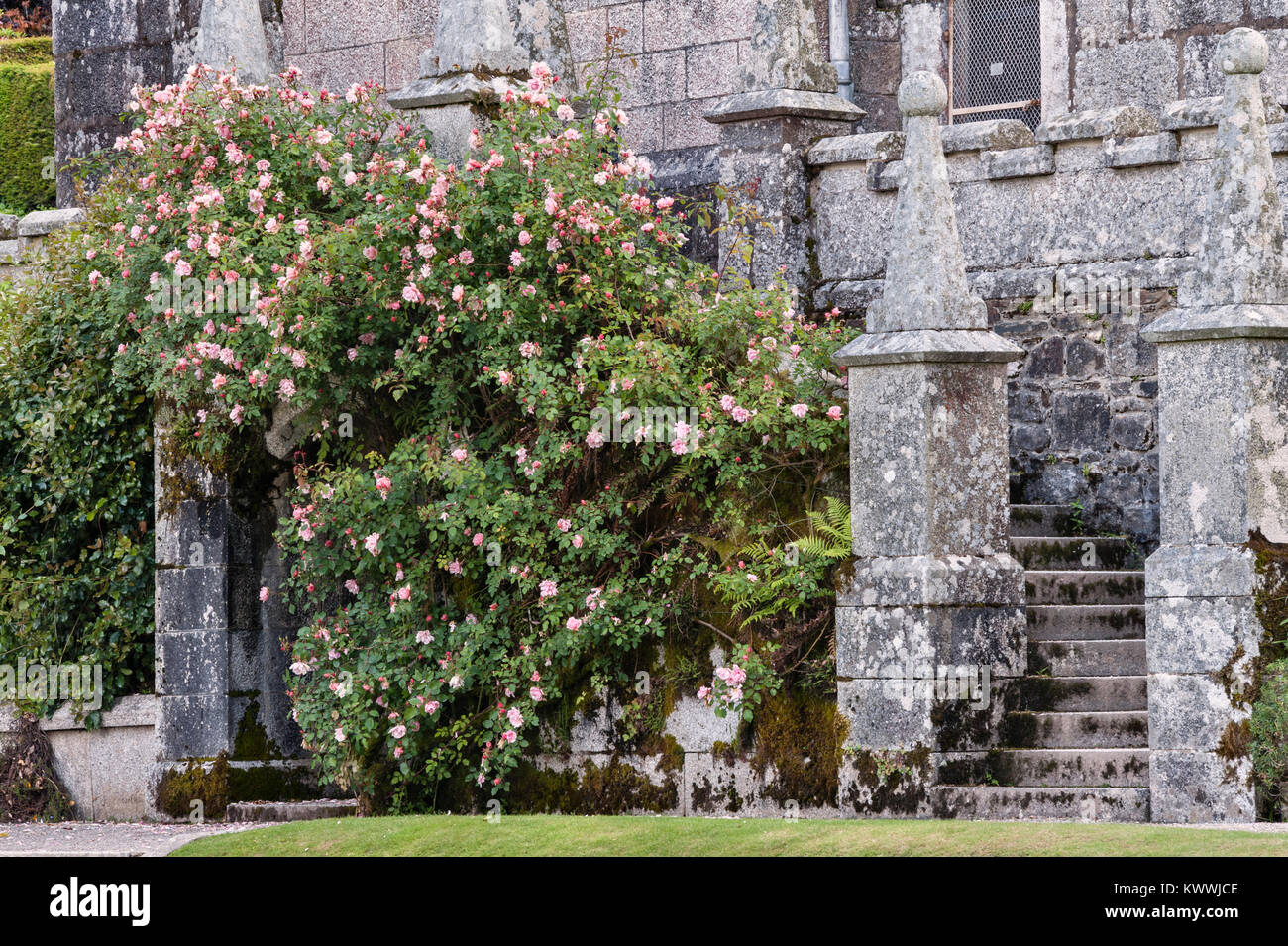 Lanhydrock, Bodmin, Cornwall, UK. Climbing roses scramble over a wall in the gardens - Stock Image