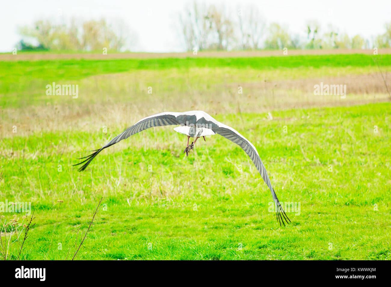 Stork soars above green field, scene of wildlife Stock Photo