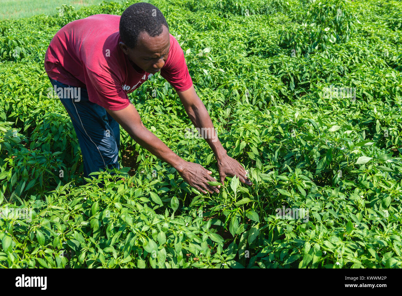 Farmer Michael Gawaga looking after his green pepper fields, Anloga, Volta Region, Ghana - Stock Image