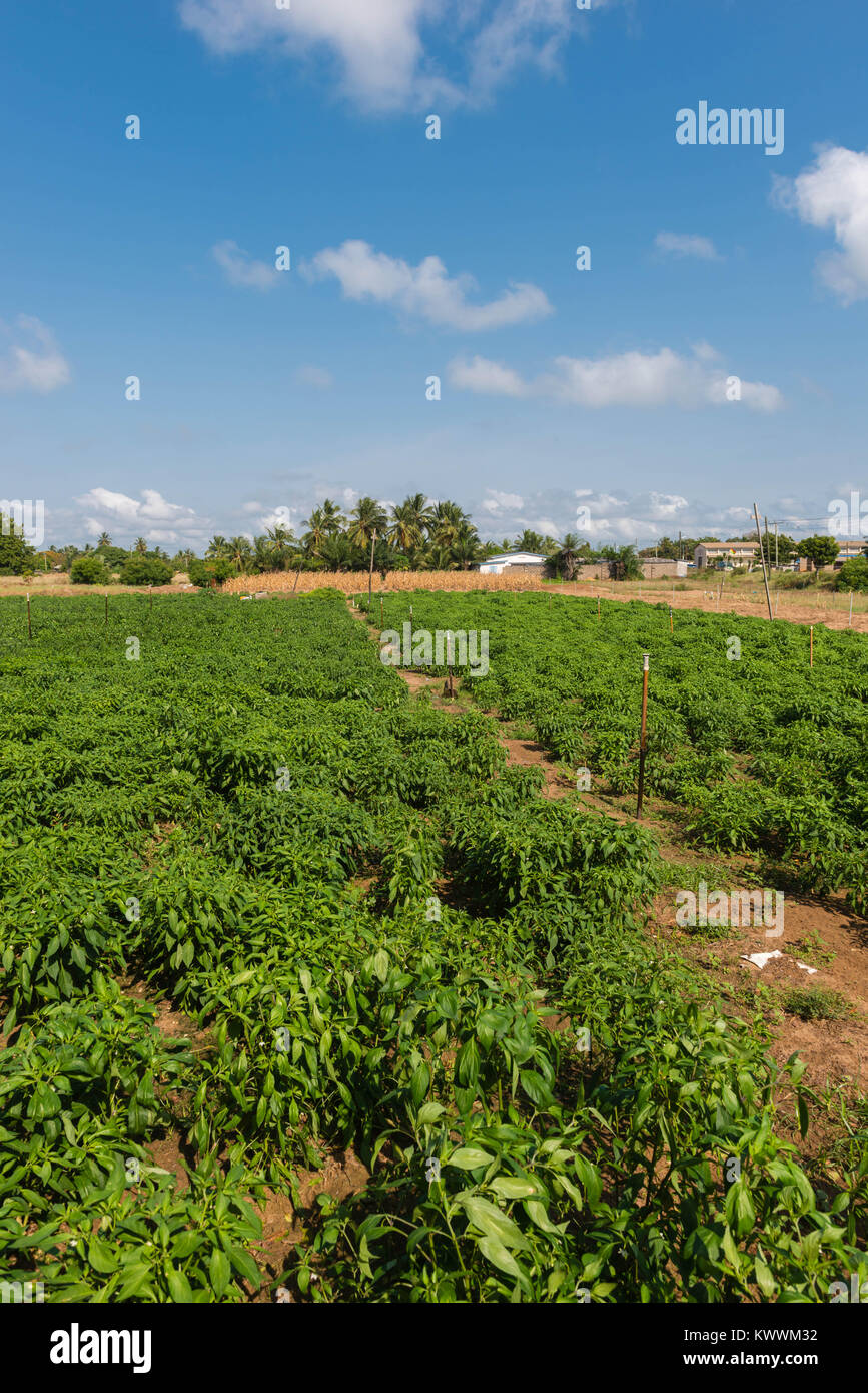 Irrigated fields of Mr. Michael Gawaga, Anloga, Volta Region, Ghana - Stock Image