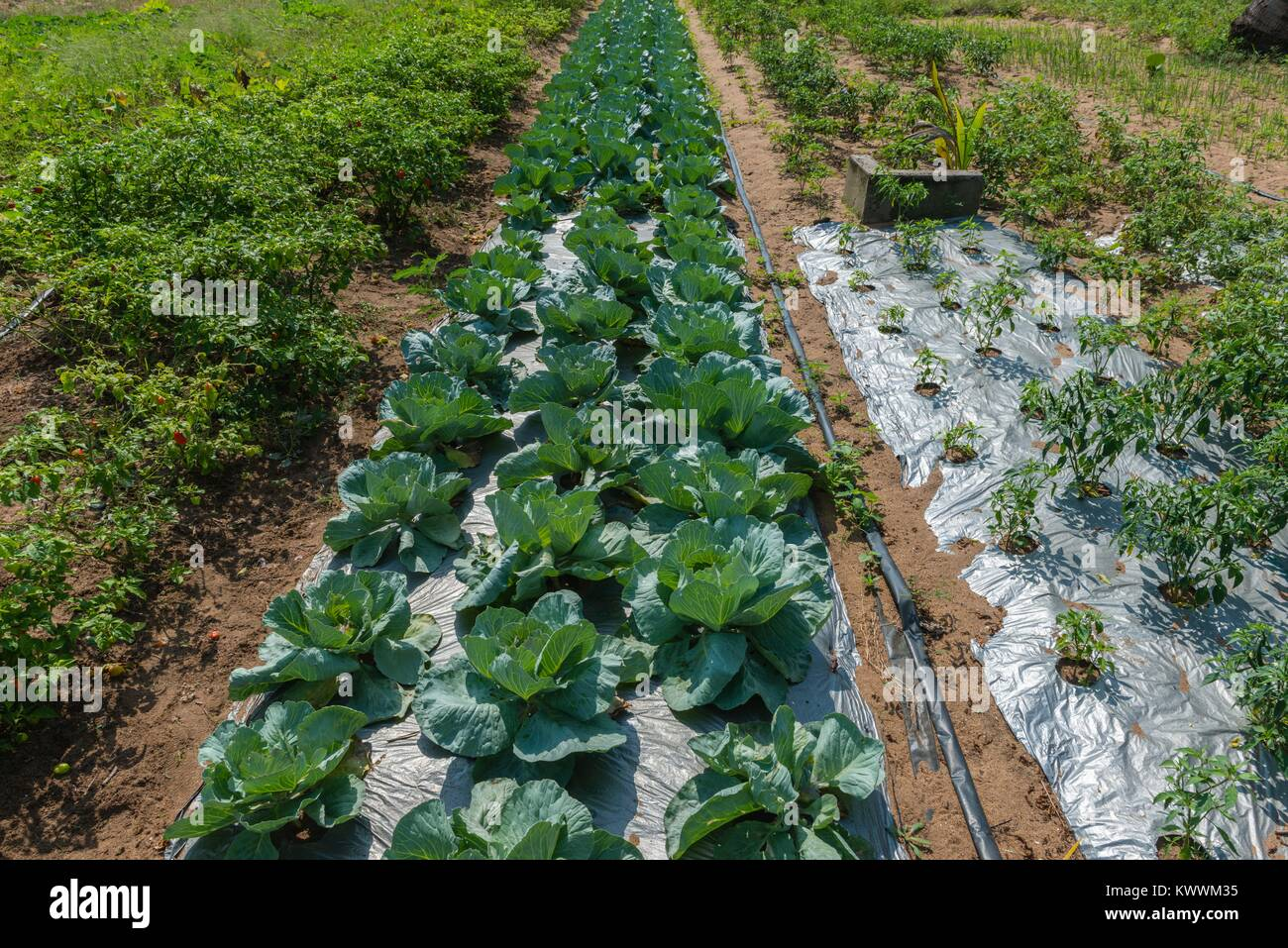 Farming in Ghana, irrgated pepper and cabbage fields  of farmer Gideon Agbodzi, Volta Region, Anloga - Stock Image