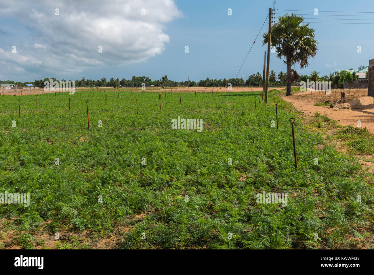 Growing carrots on an irrigated field, Ghana, Volta Region, Anloga - Stock Image
