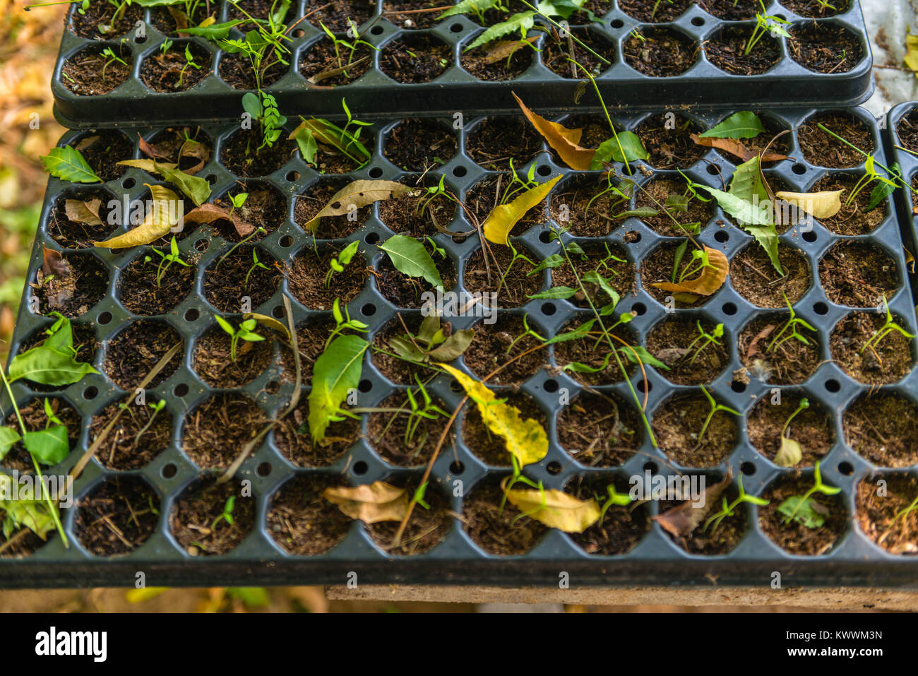 Farming in Ghana, pepper seedings, Anloga, Volta Region, Anloga - Stock Image