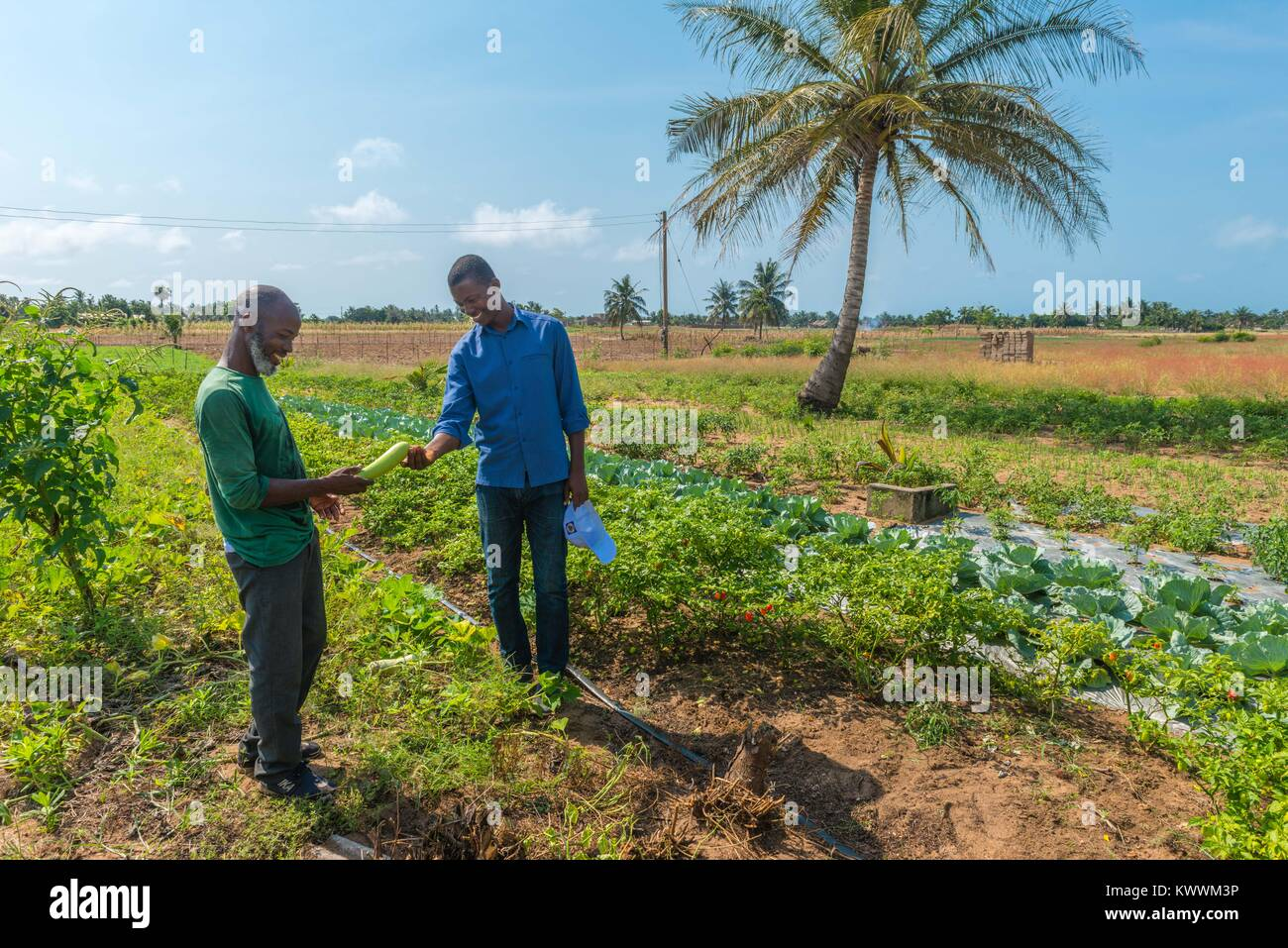 Farming in Ghana, irrgated fields of farmer Gideon Agbodzi (l) showing Ebener Korateng of GIZ Ghana (r) some fruit, - Stock Image