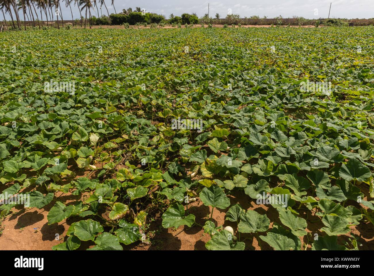 Field of pumpkins, Anloga,  Volta Region, Ghana, Ghana - Stock Image