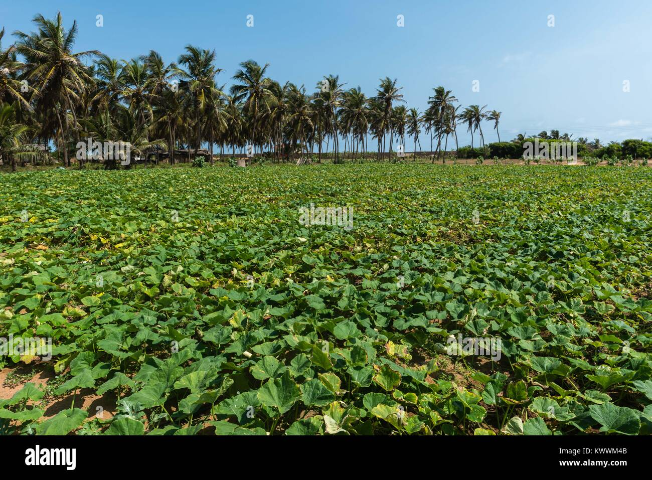 Field of pumpkins, trickle irrigation, Anloga,  Volta Region, Ghana,Africa - Stock Image