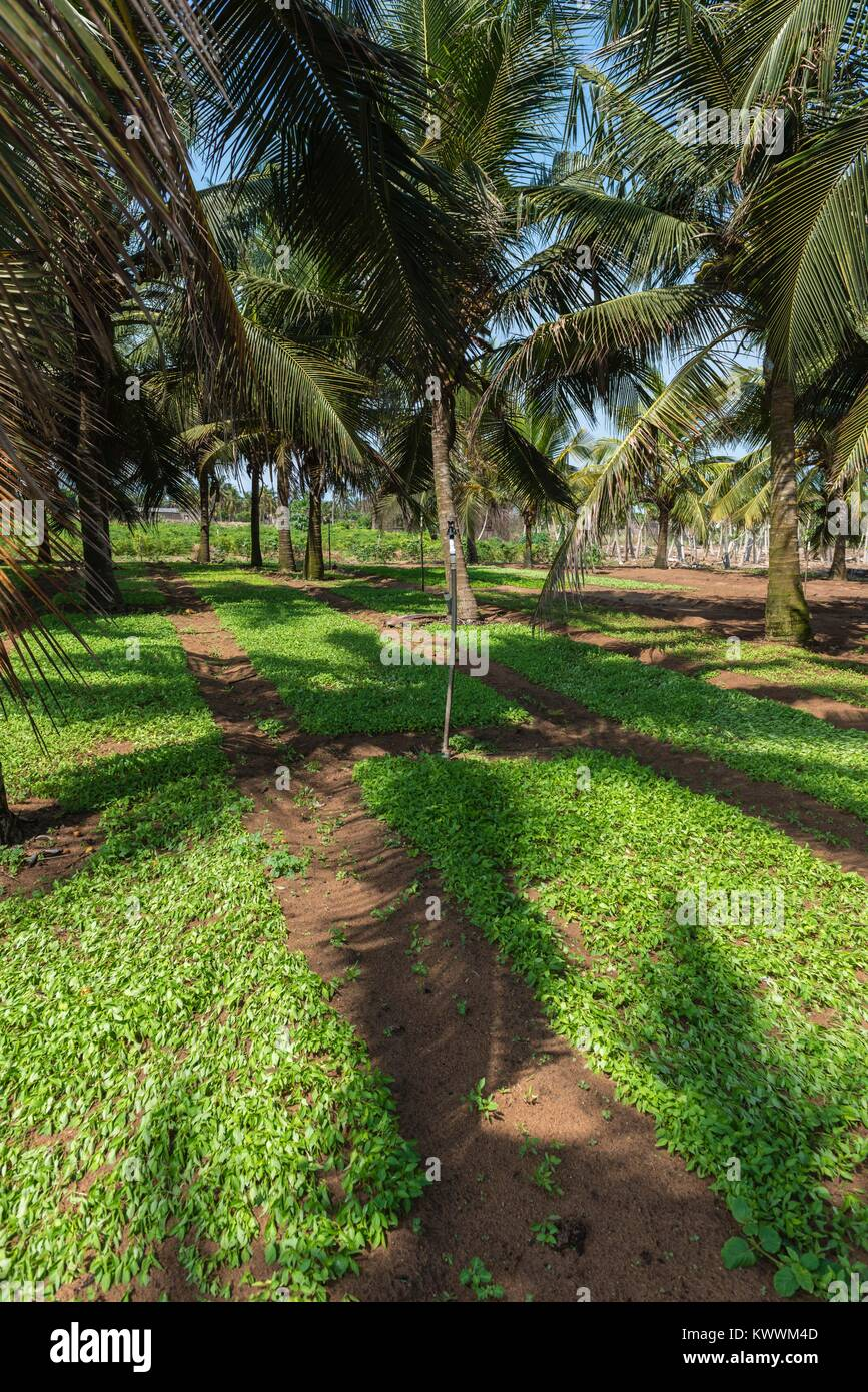 Farming in the shadow of Palm trees, Anloga, Volta Region, Ghana, Africa - Stock Image