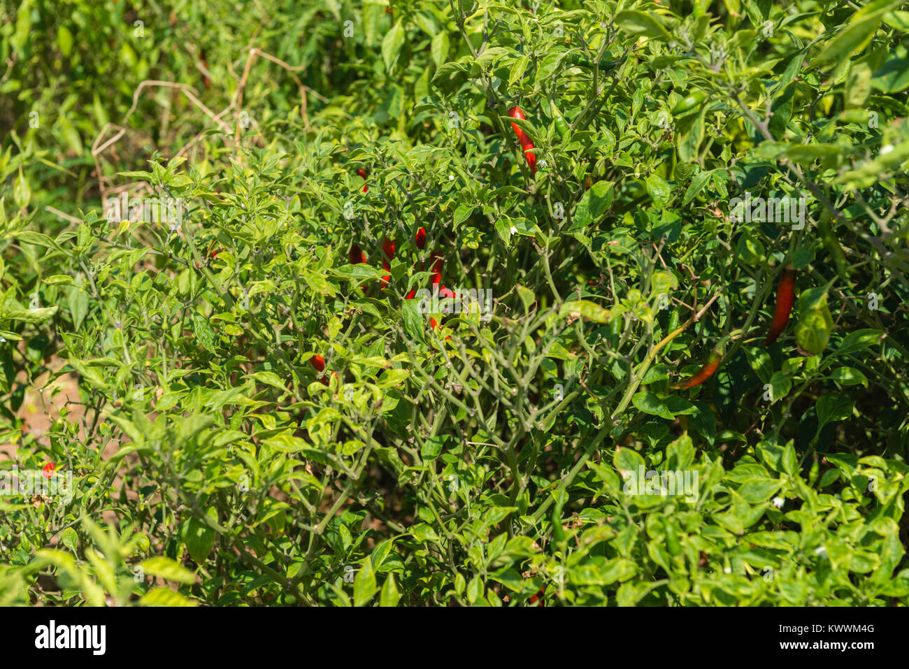 Field of red chilly pepper, Anloga, Volta Region, Ghana, Africa - Stock Image