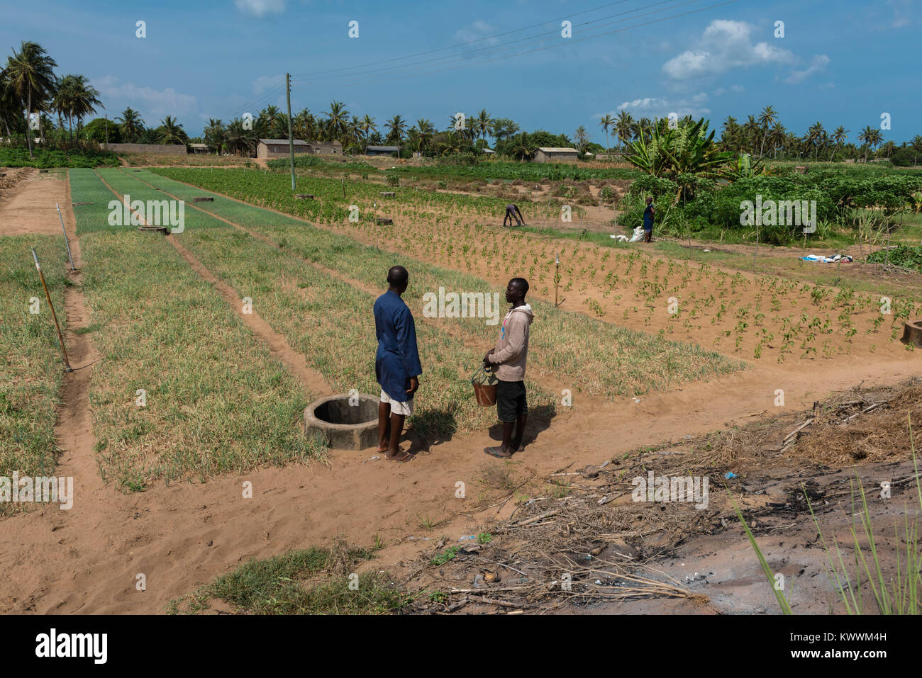 Dry and sandy fields of challots and cassava, Anloga,  Volta Region, Ghana, Africa - Stock Image