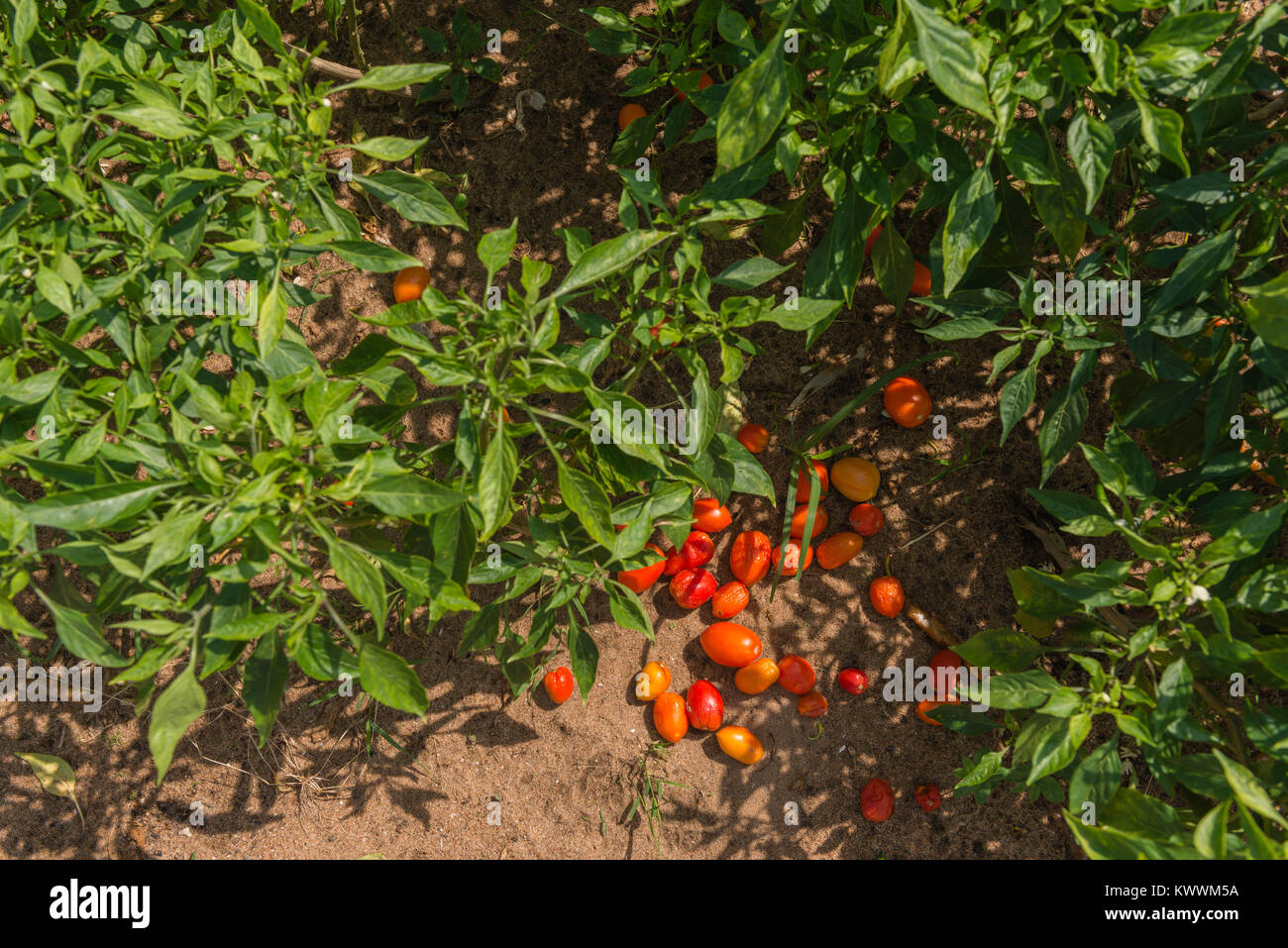Plants of red pepper, Anloga, Volta Region, Ghana, Africa - Stock Image