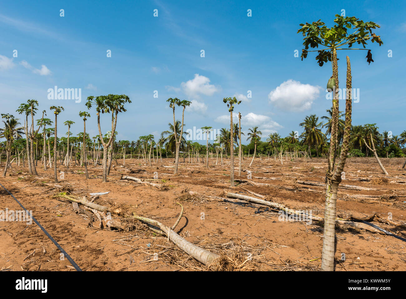 Papaya trees and fruits, farming in Anloga, Volta Region, Ghana, Africa - Stock Image