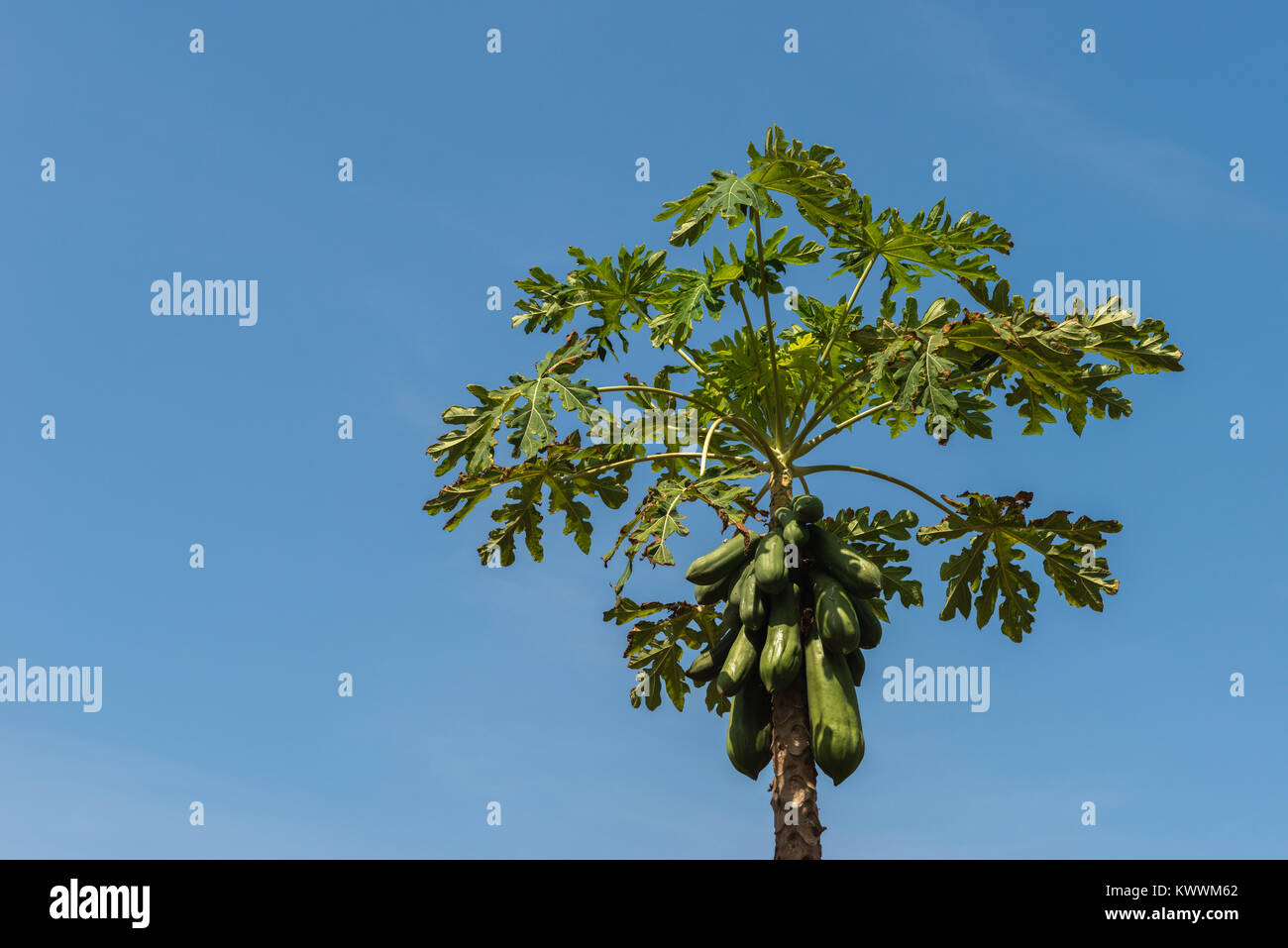 Papaya tree and fruits, farming in Anloga, Volta Region, Ghana, Africa - Stock Image