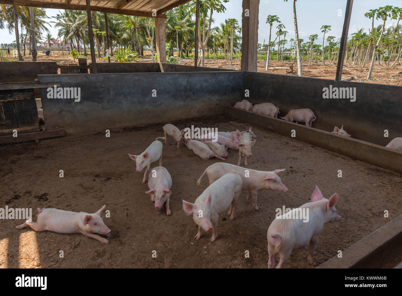 Pigstall on a farm  among coconut palm trees, Anloga, Volta Region, Ghana, Africa - Stock Image