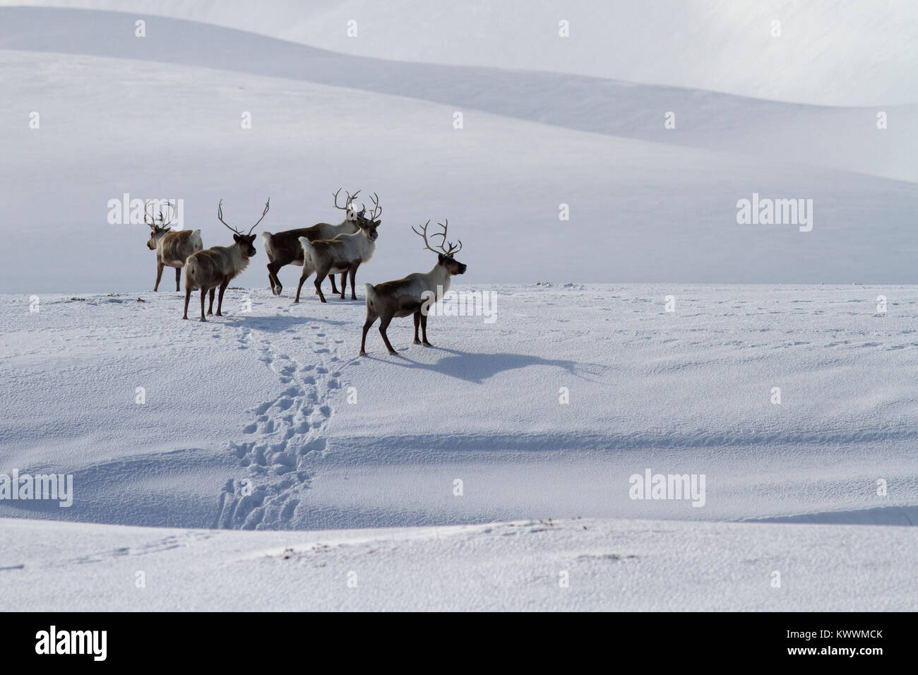 A small herd of Reindeer standing on a snow-covered hill in a winter's day - Stock Image