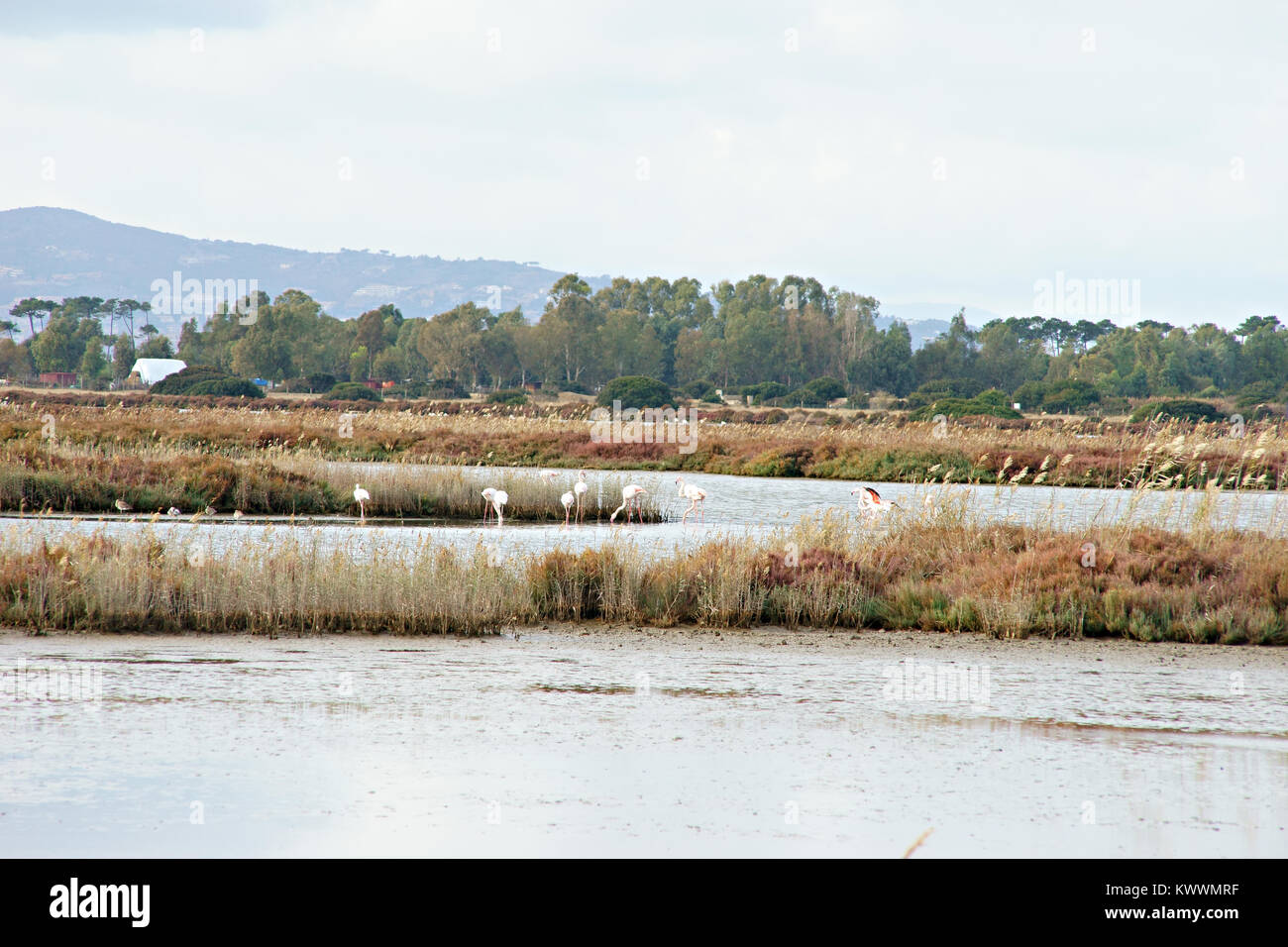 Flamingos in WWF natural reserve of Orbetello, lagoon, Tuscany, Italy - Stock Image