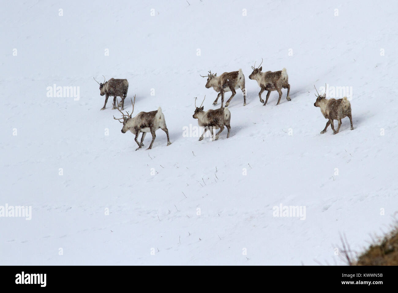 herd of Reindeerwalking along the slope of a snow-covered hill in a winters day - Stock Image