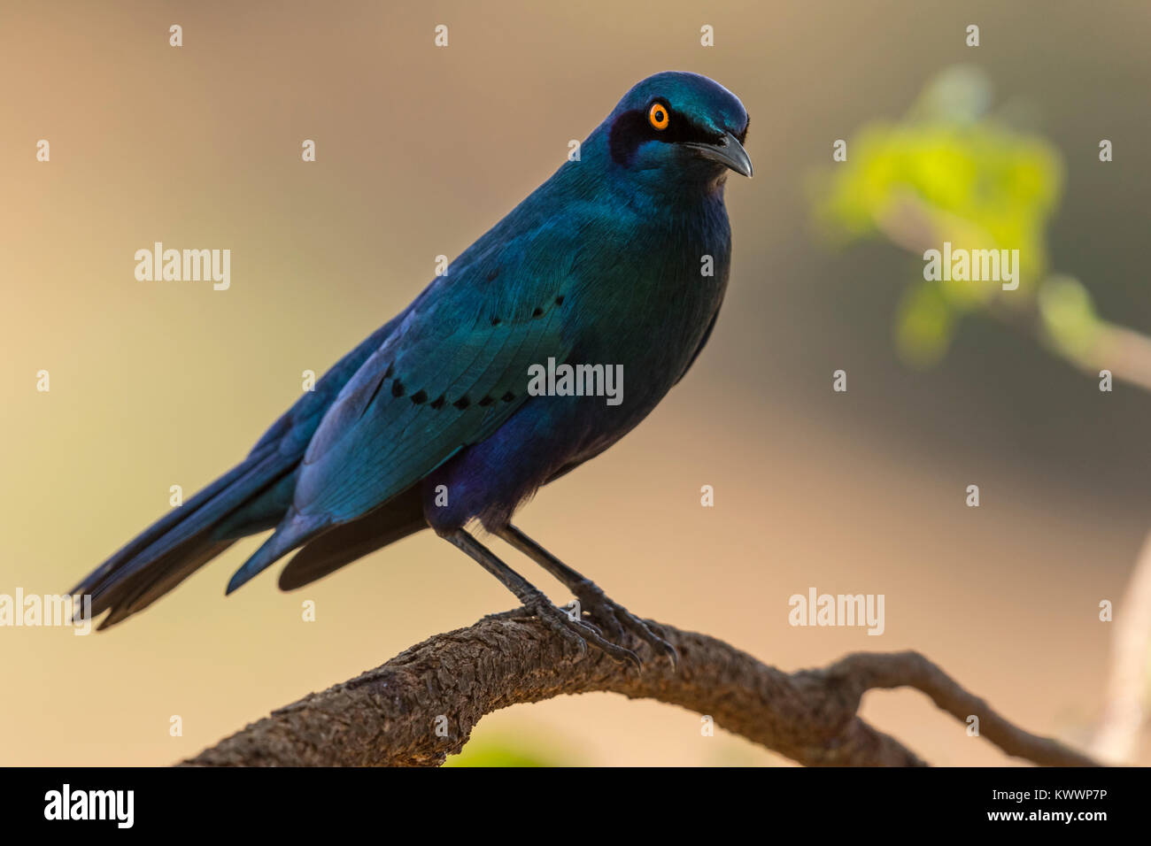 Greater Blue-eared Glossy-Starling, Greater Blue-eared Starling, (Lamprotornis chalybaeus ssp. nordmanni), Sturnidae - Stock Image