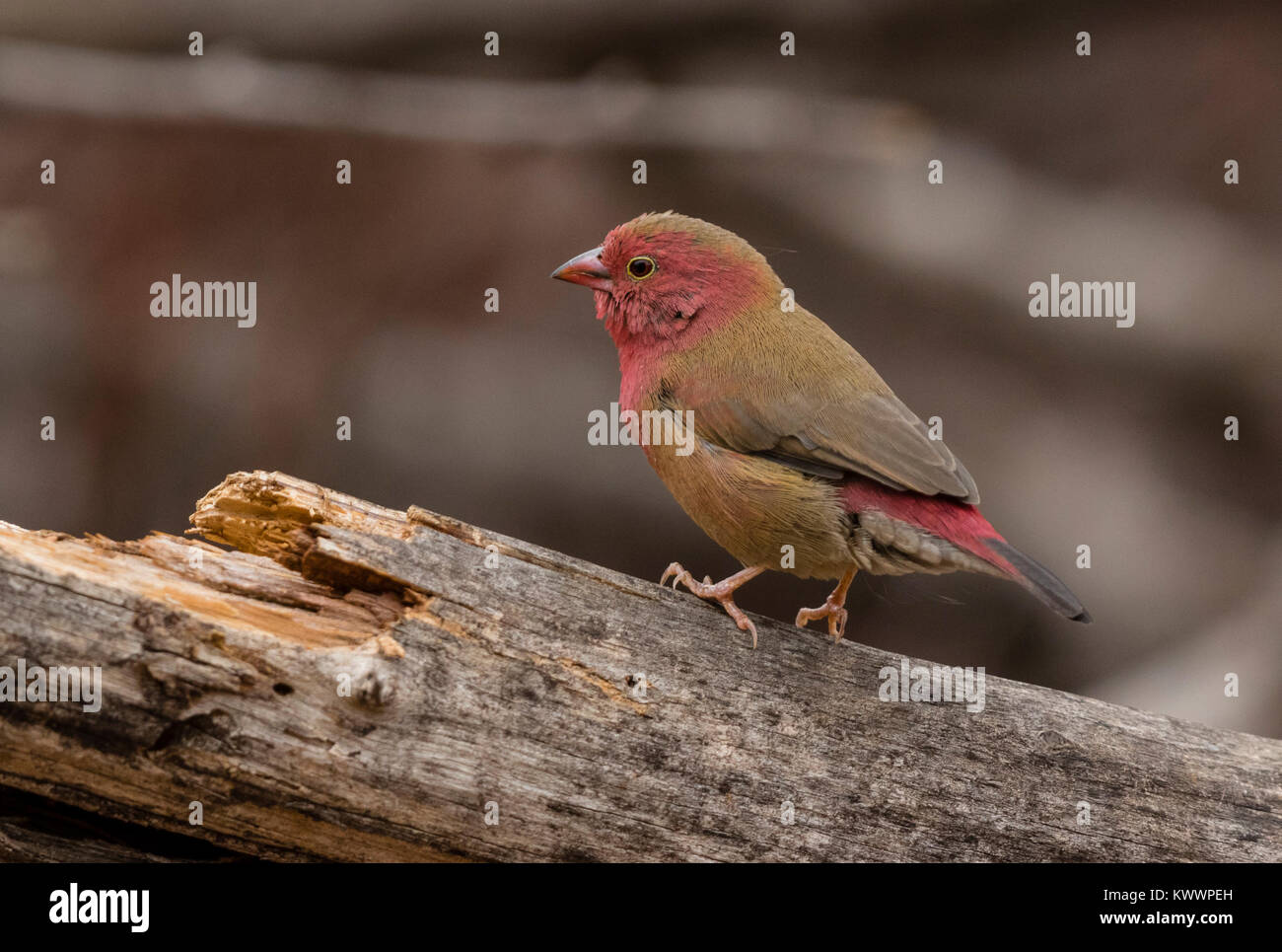 Red-billed Firefinch (Lagonosticta senegala) male perched on a branch Stock Photo
