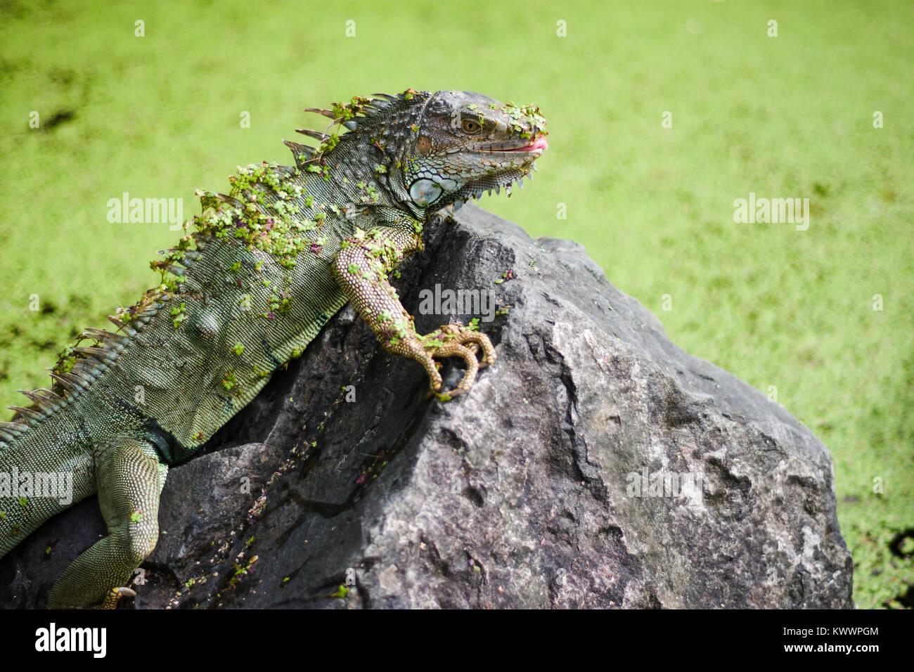 Iguana Basking on Rock - Stock Image