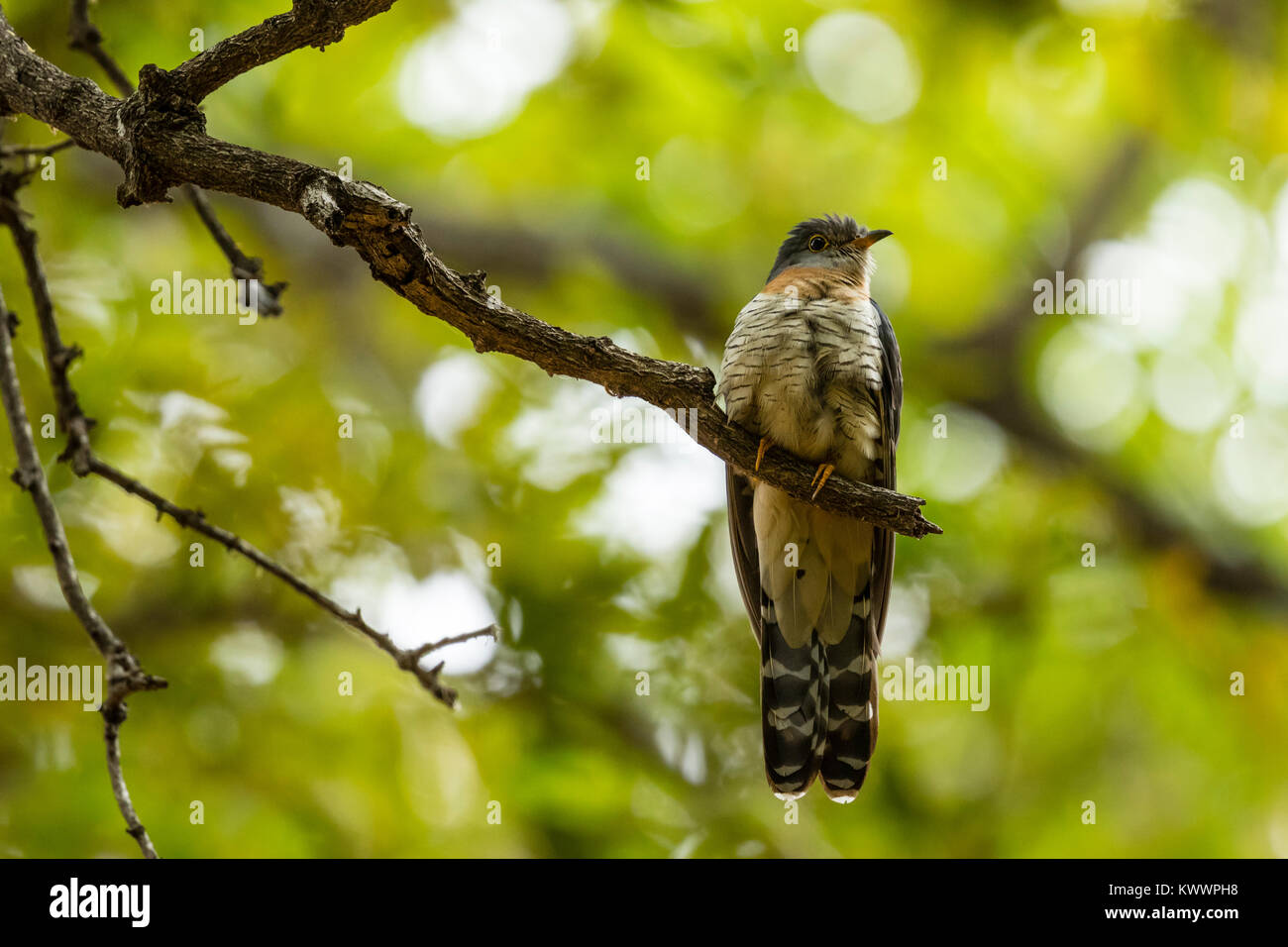 Red-chested Cuckoo (Cuculus solitarius), Stock Photo