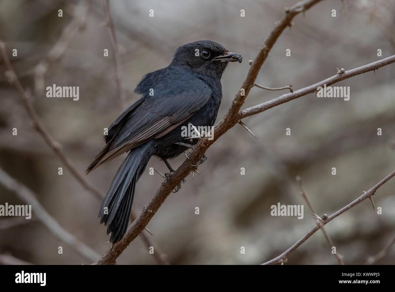 Southern Black Flycatcher (Melaenornis pammelaina), - Stock Image