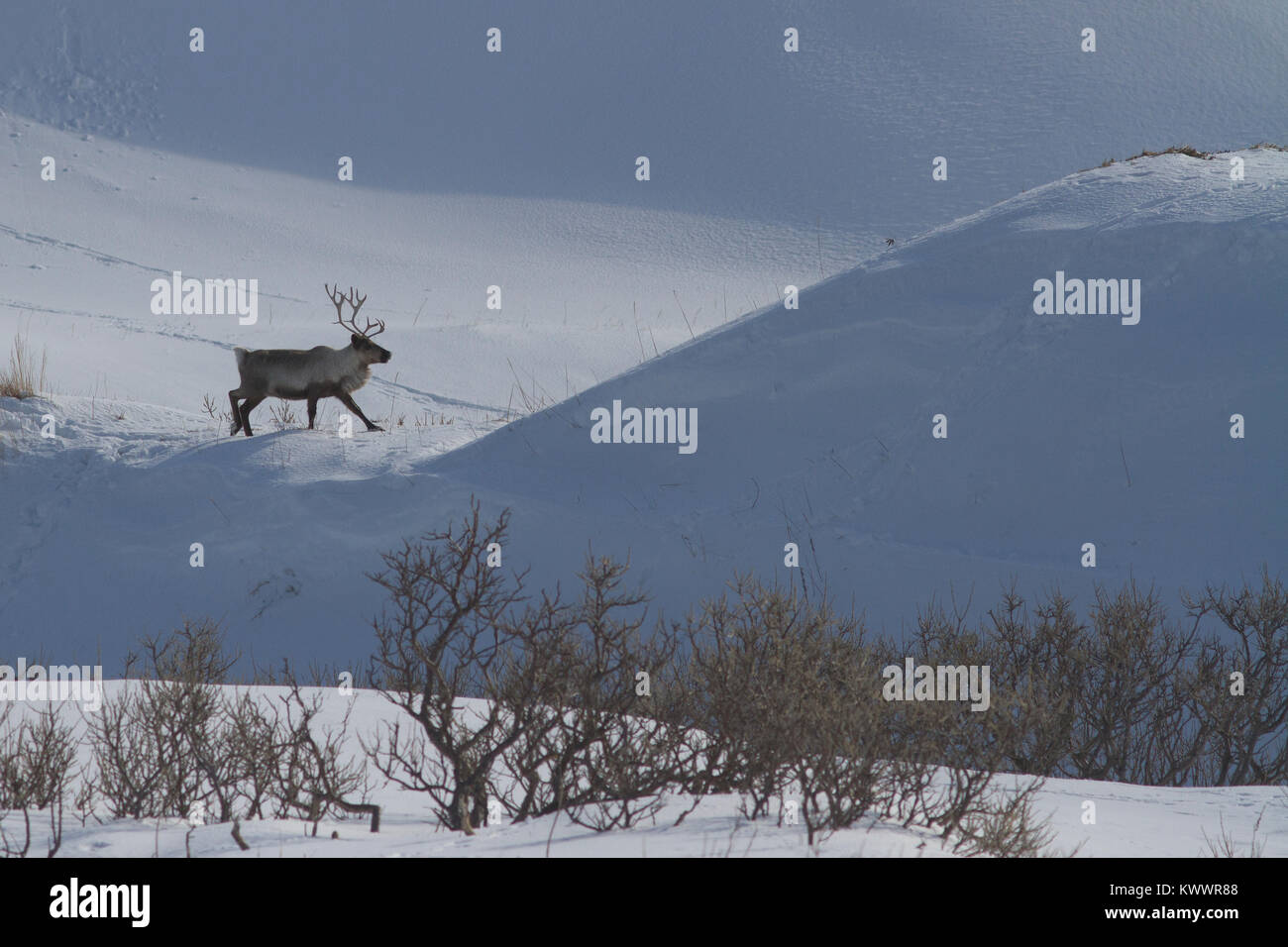 Reindeer walking along the edge of the hill in the winter - Stock Image