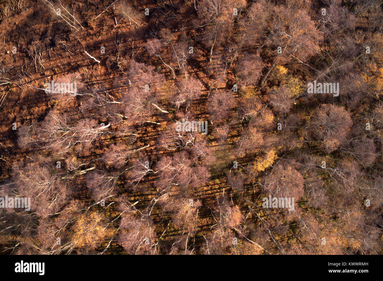 Drones eye view over Silver Birch trees at Holme Fen SSSI nature reserve, Cambridgeshire, England, UK - Stock Image