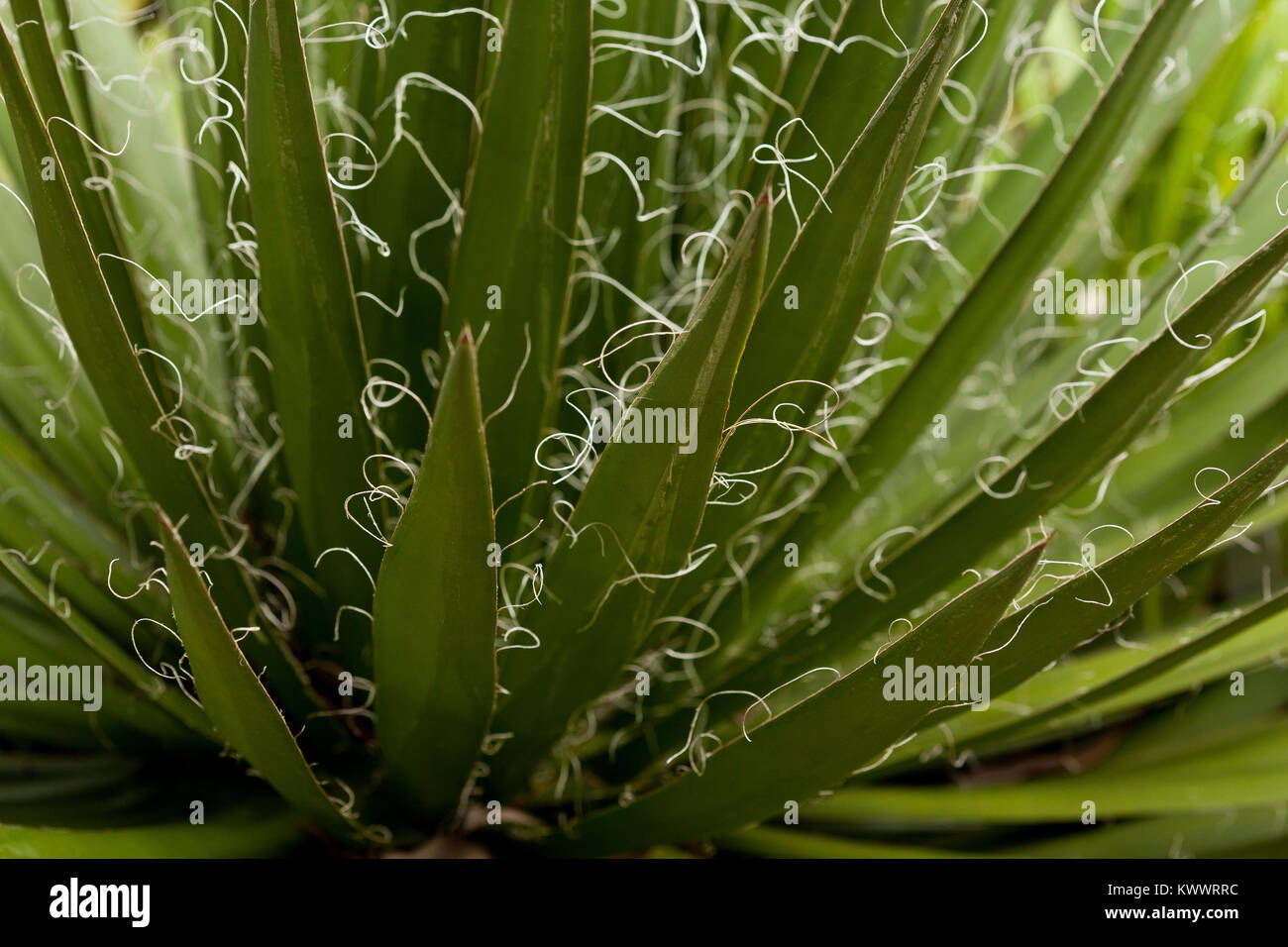 Hairy fronds of a back lit Agave Filifera Thread Leaf plant - Stock Image