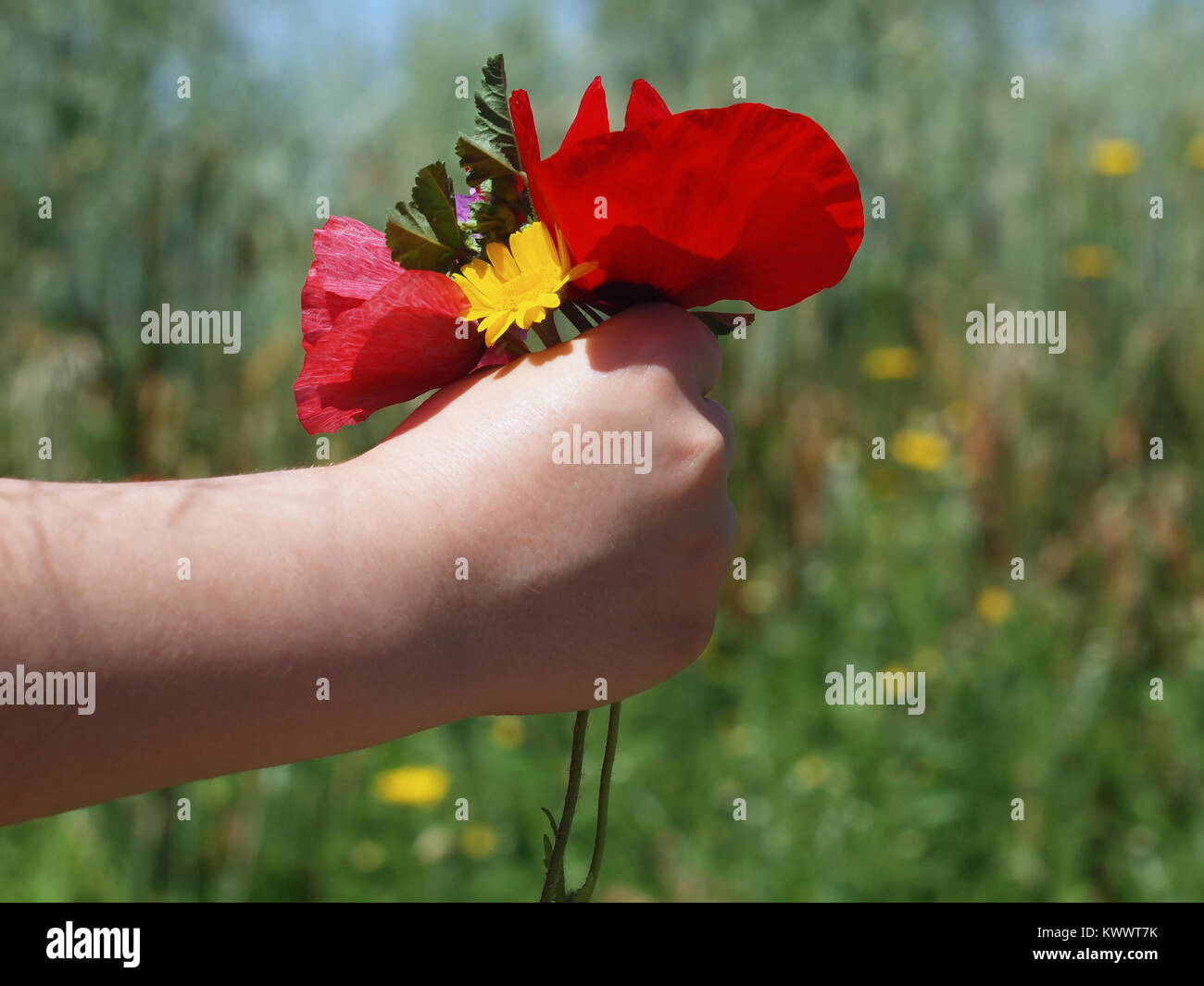 Child hand holding a beautiful bouquet of poppies and other wildflowers during spring Stock Photo