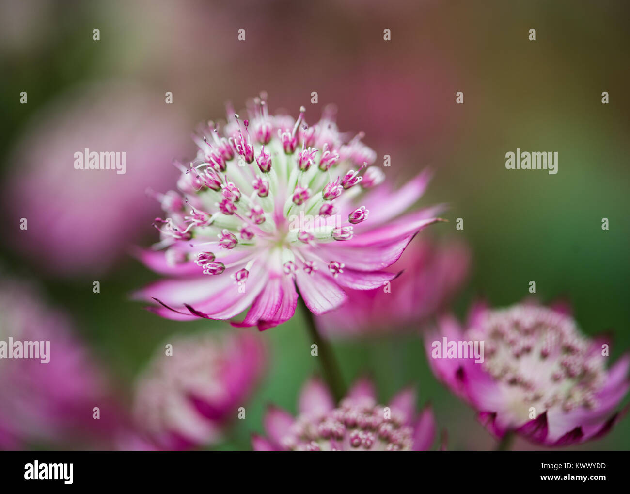Astrantia Major Pink And White Flower And Petals On Green And Pink