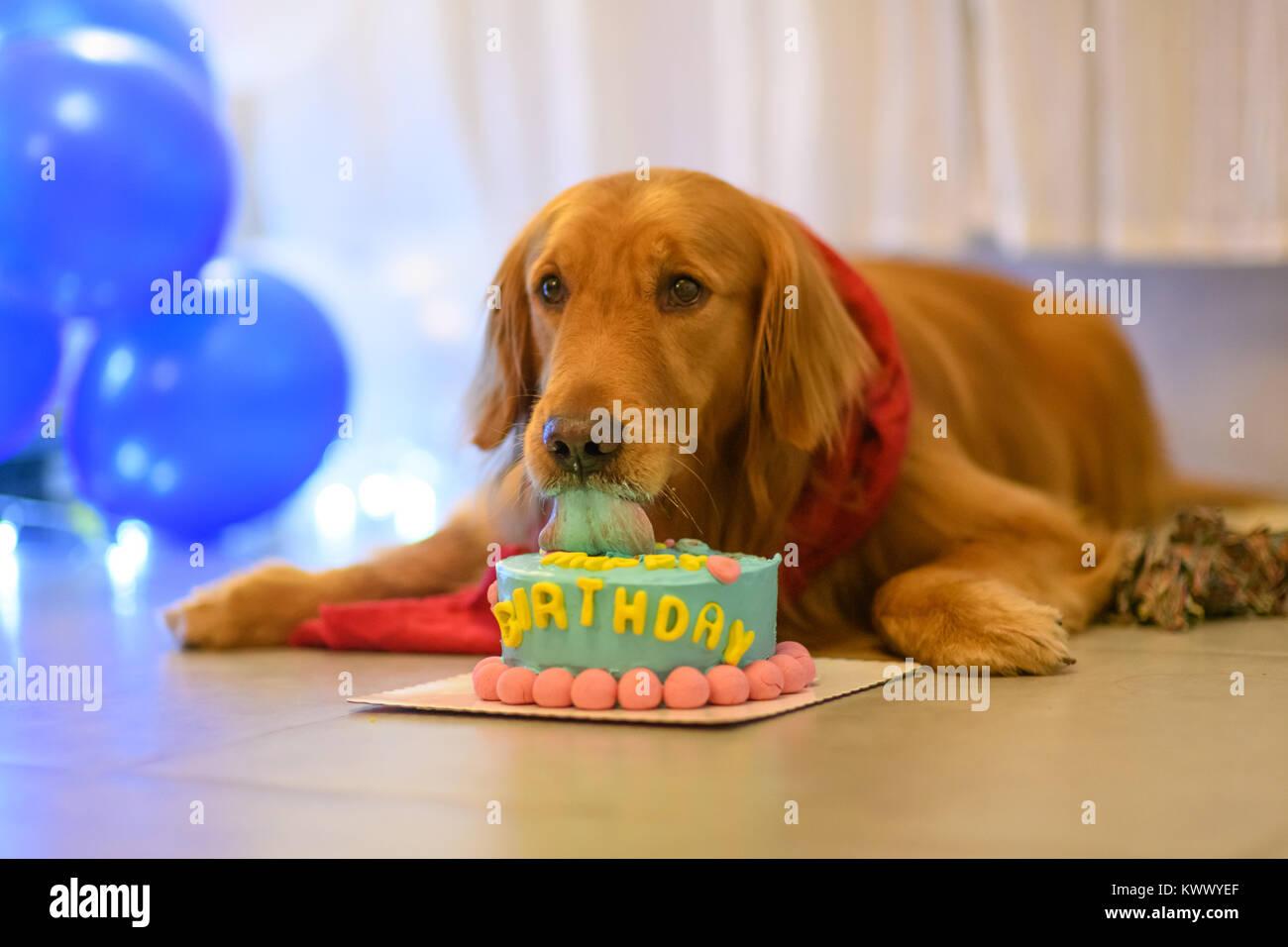 Sensational Golden Retriever And Birthday Cake Stock Photo 170830087 Alamy Funny Birthday Cards Online Alyptdamsfinfo