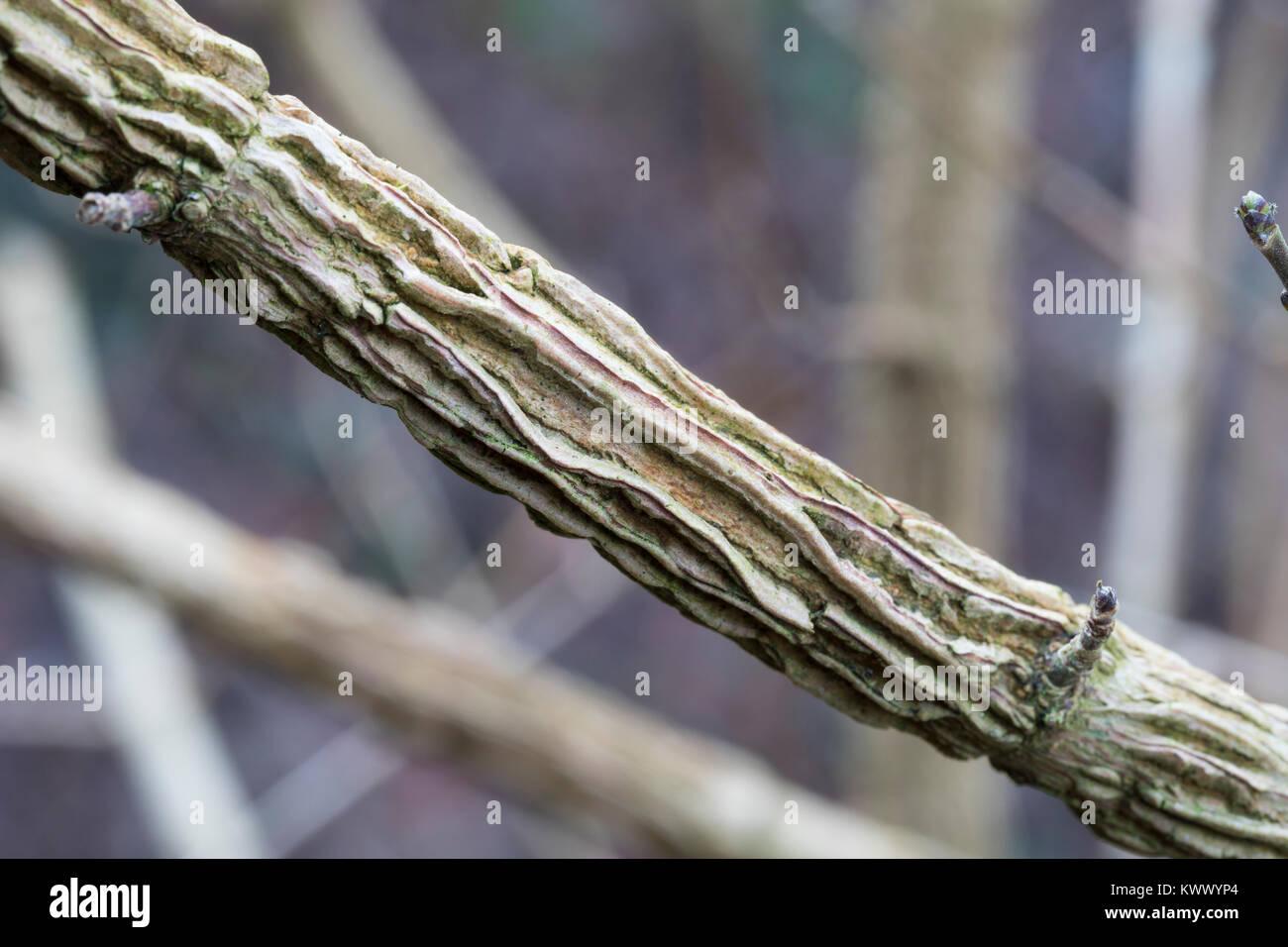 Feld-Ahorn, Feldahorn, Ahorn, Korkleiste, Korkleisten an Zweig, Acer campestre, Field Maple, Hedge Maple, Erable - Stock Image
