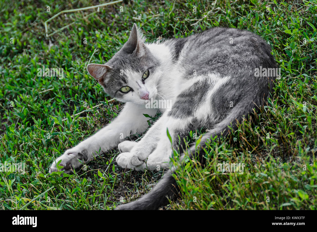 Grey with white belly  domestic cat, green eyes, lying in the grass, close up. Stock Photo