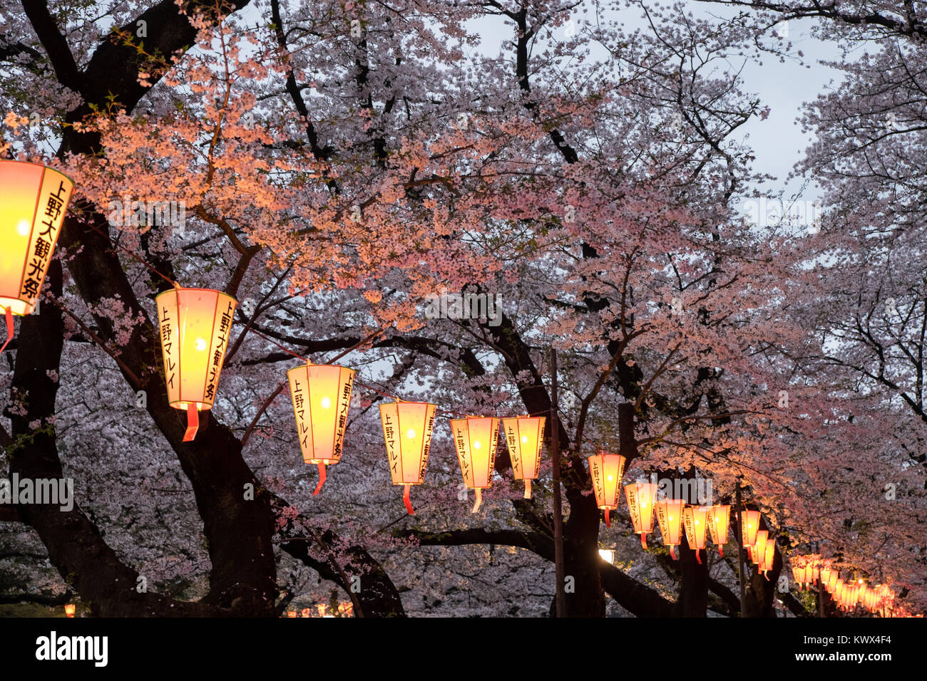 Japan, Tokyo: lanterns, lights, streetlights and cherry trees in full bloom in the Ueno Park - Stock Image