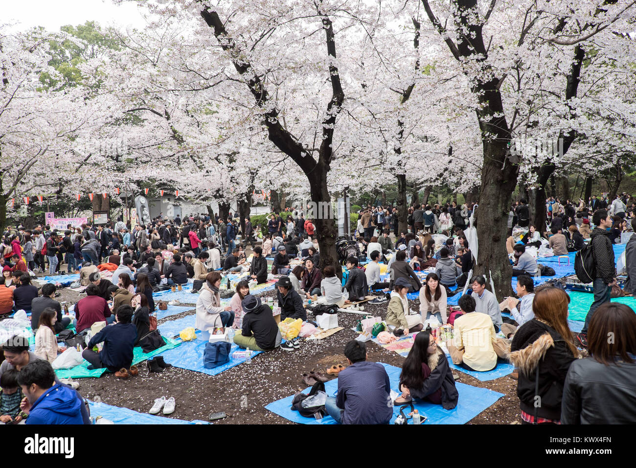 Japan, Tokyo: traditional picnic to celebrate the cherry trees blossoming  and the arrival of spring here in the - Stock Image