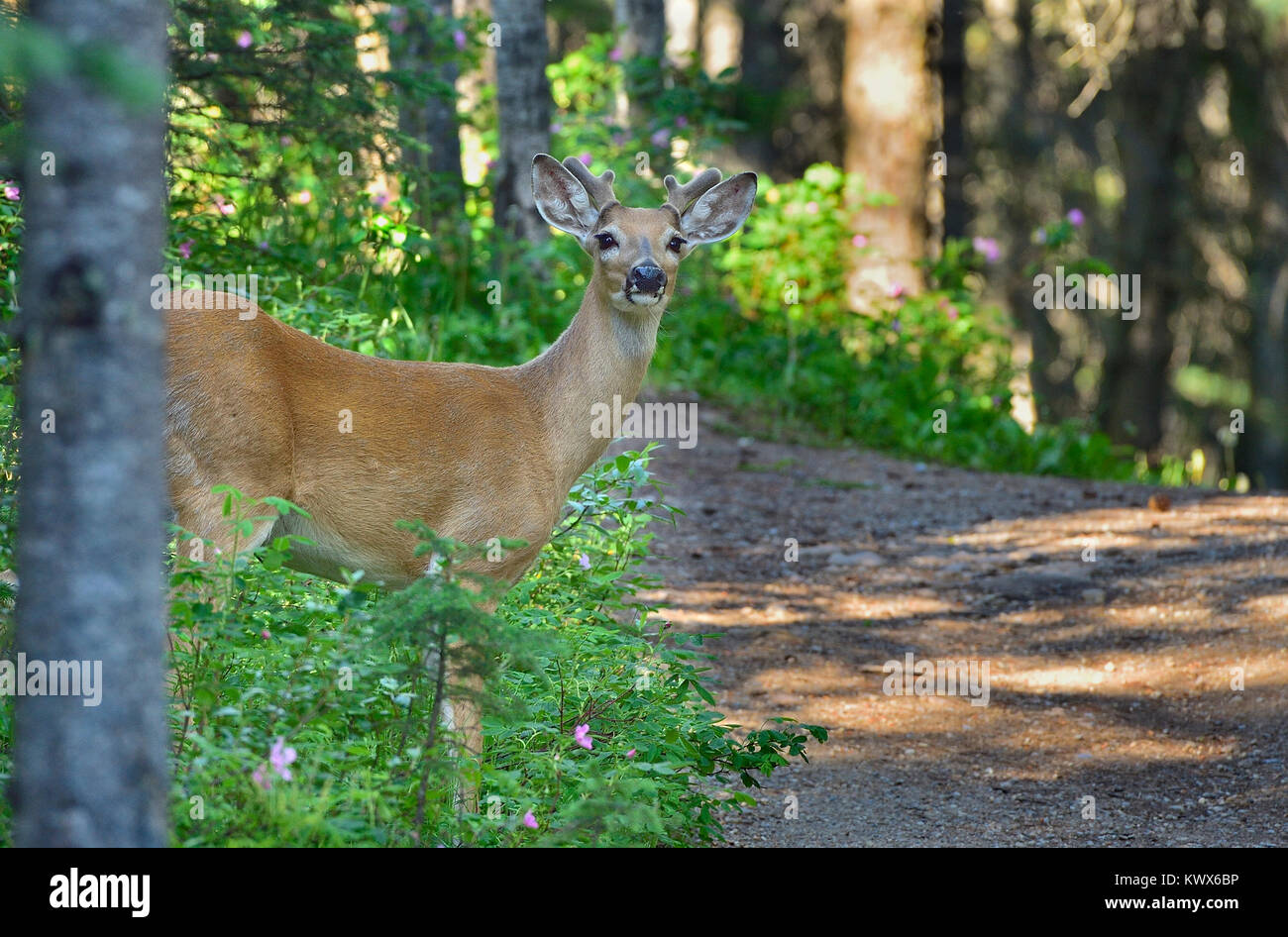 A white-tailed deer (Odocoileus virginianus) steping out into the open on a hiking trail near Hinton Alberta Canada. - Stock Image