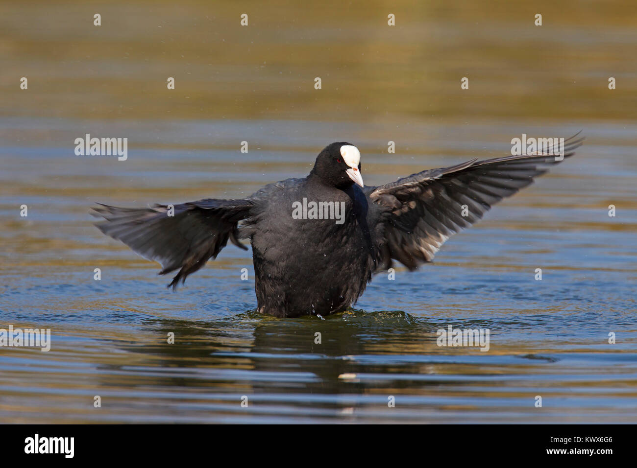 Eurasian coot (Fulica atra) flapping wings in pond - Stock Image