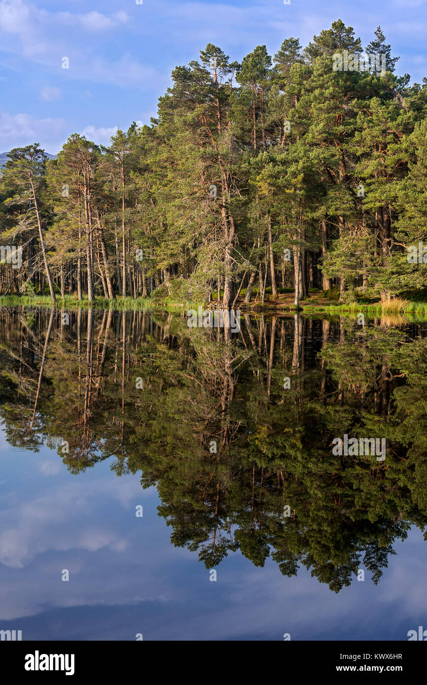 Scots pine trees on the shore of Loch Garten, reflected in water, Abernethy Forest, remnant of the Caledonian Forest - Stock Image