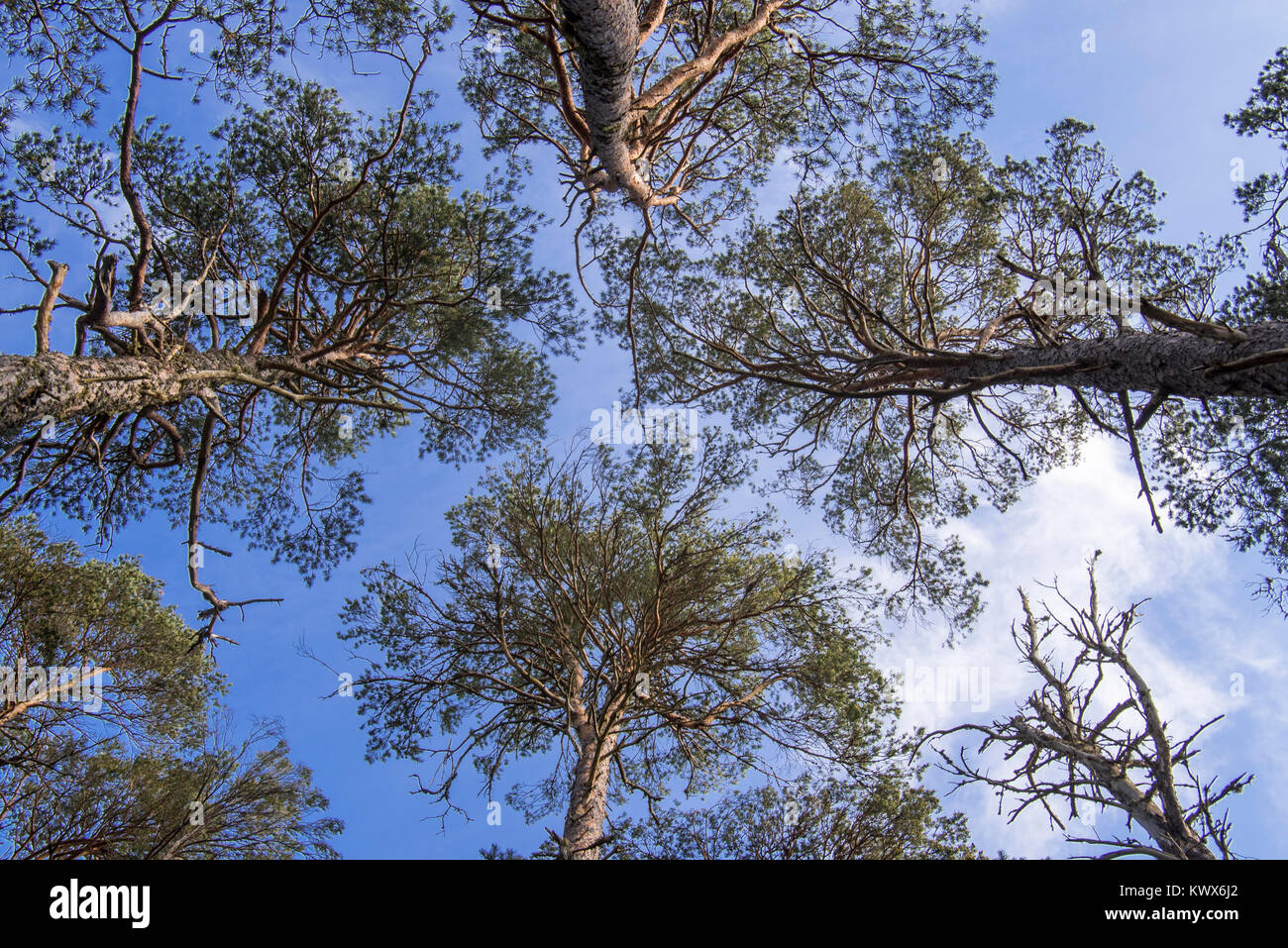 Scots pine trees, Abernethy Forest, remnant of the Caledonian Forest in Strathspey, Scotland, UK - Stock Image