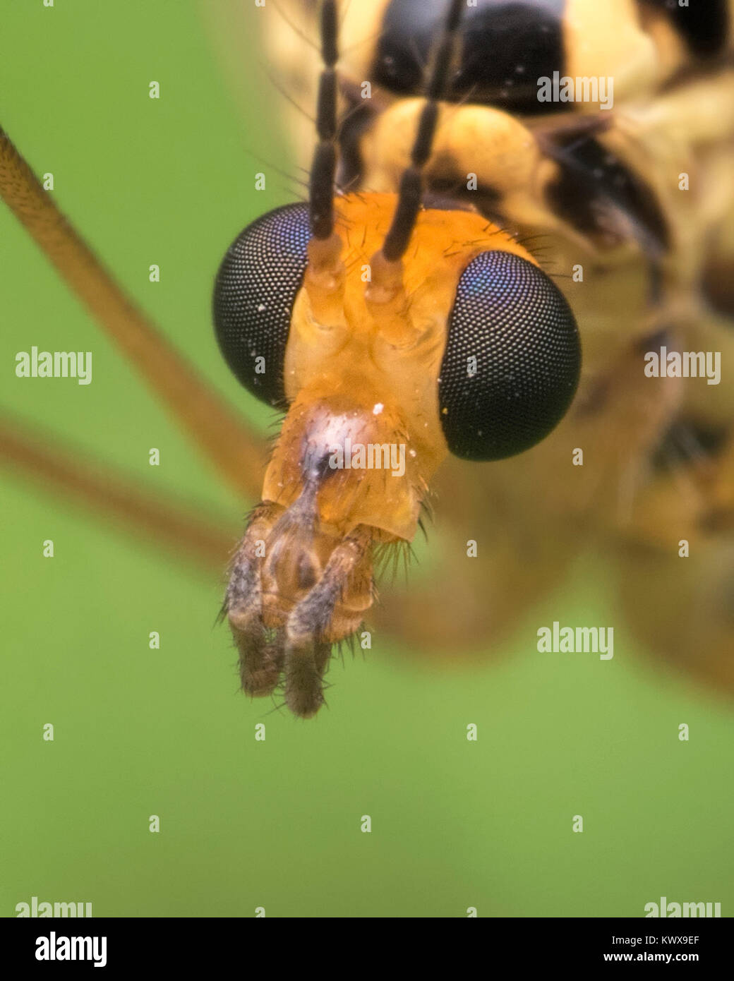 Tiger Cranefly (Nephrotoma sp.) close up photo of the head showing the compound eyes. Cahir, Tipperary, Ireland. - Stock Image