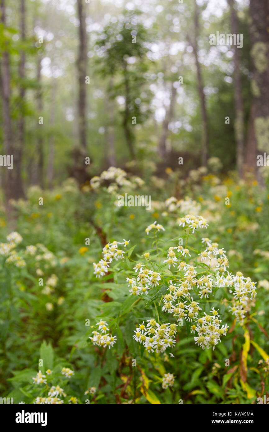 White aster wildflowers wilting at the bottom of a forest along the Otter Cove Trail below foggy weather. Acadia Stock Photo