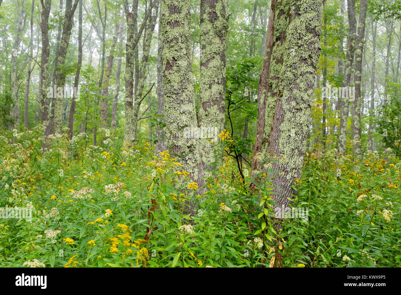 Tree trunks and wildflowers decorating a dense and lush forest along the Otter Cove Trail on Mount Desert Island. Stock Photo
