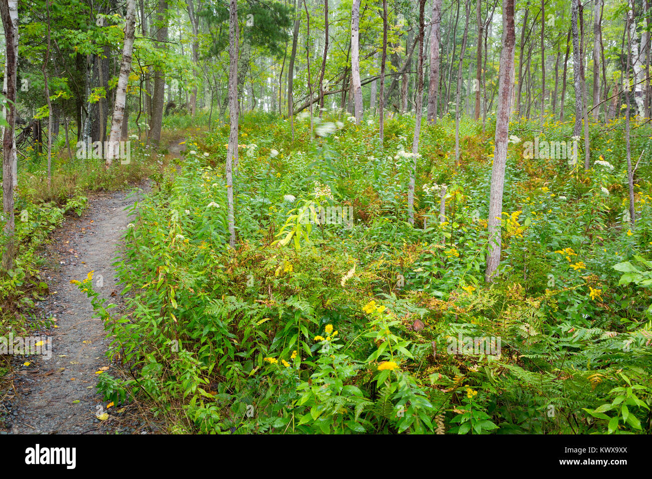 The Otter Cove Trail ascending a small rise through ground brush and forest. Acadia National Park, Maine Stock Photo