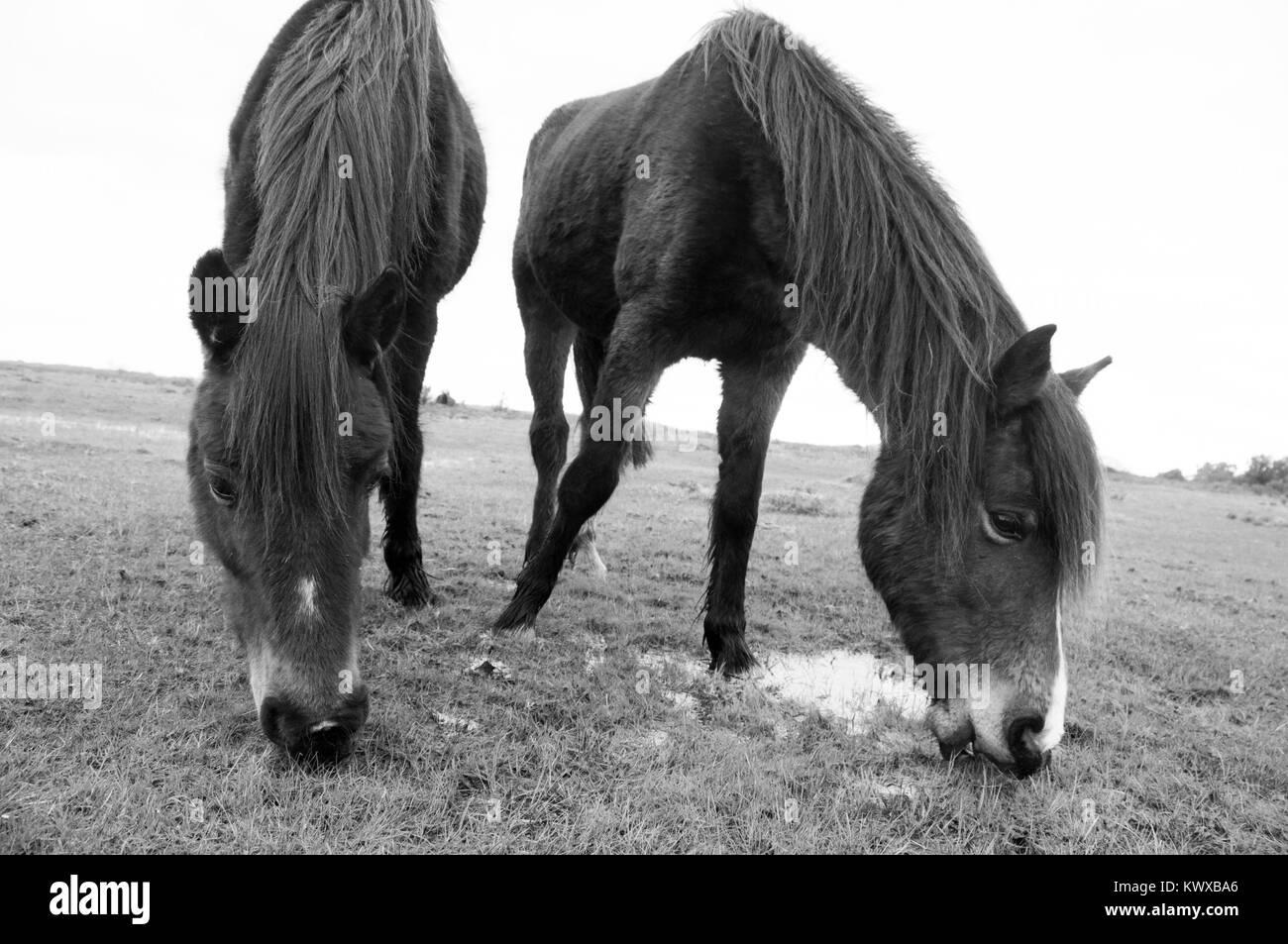 New Forst Ponies Graziing - Stock Image