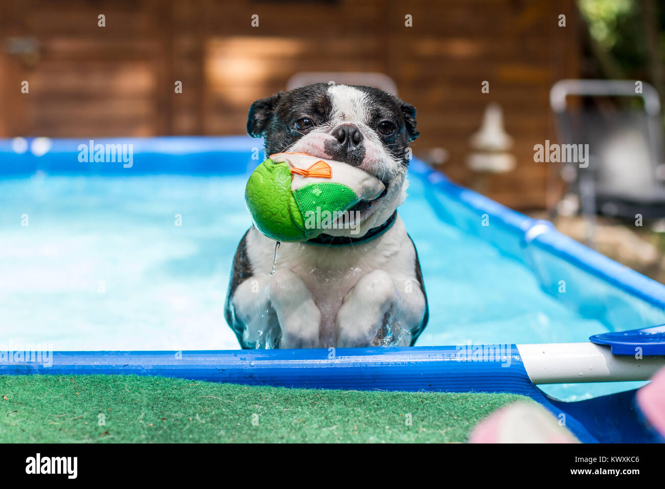 Boston Terrier swimming in the pool and fetching a ball Stock Photo