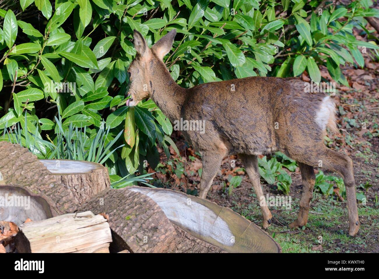 Roe deer (Capreolus capreolus) doe visiting a garden in morning sunlight, grazing a Cherry laurel bush (Prunus laurocerasus) - Stock Image