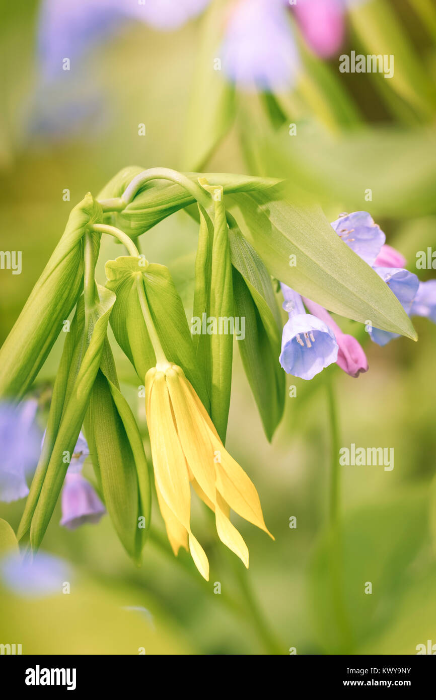 Virginia bluebells and large flower bellwort in Carley State Park. - Stock Image