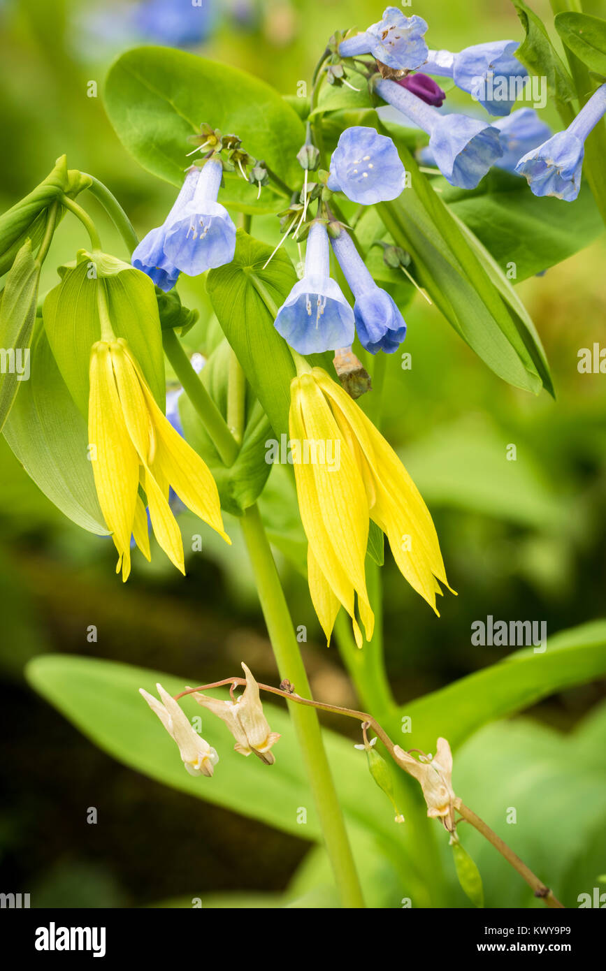 Virginia bluebells, Dutchmans Breeches,  and large flower bellwort in Carley State Park. - Stock Image