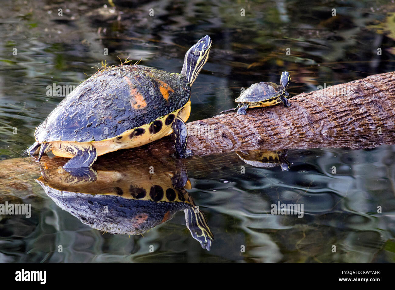 Florida Red-bellied Turtles - Green Cay Wetlands, Boynton Beach, Florida, USA - Stock Image
